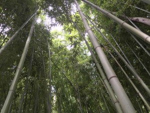 Bamboo plantation at the Lodge Les Asphodèles