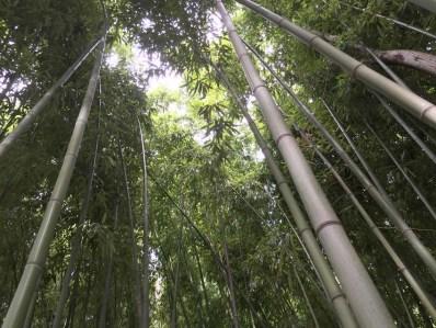 Bamboo plantation at the Lodge Les Asphodèles
